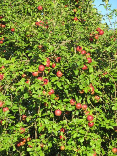 Apfel-Reife